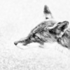 PORTRAIT KITA-KITUNE (Ezo red fox) - monochrome #0809