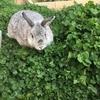 植えてはいけない!?庭のグランドカバーに白クローバー、その後【うさぎのための庭づくり】
