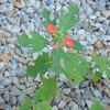 葉っぱが赤い植物の名。