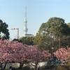 木場公園ランニング〜大横川沿いの河津桜〜