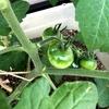 【家庭菜園】近況報告 | 育ち方色々3世代目のミニトマトたち