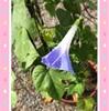 間引きしたアサガオの苗にやっと花が咲いた