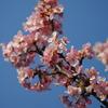 河津桜を見に三浦海岸桜まつりへ