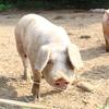 豚は力強く走り回る生き物だった