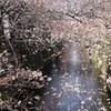 目黒川のお花見状況2020年