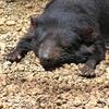 かわいいタスマニアデビル 日本で唯一見られる多摩動物公園 絶滅危惧でとても貴重