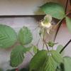 2014/04/15 何年か前から繁殖し始めた草イチゴ
