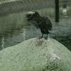 鵜の羽ばたき