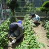 菜園プロジェクト・さつまいも、ニンジンが育っています