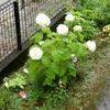 ★梅雨の時期、アナベルが真っ白に咲いている・・・。