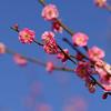 偕楽園 水戸の梅まつり 2017でたっぷり梅を堪能した