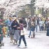 熊本城 「行幸坂」桜満開
