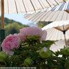 奈良、當麻寺 西南院の牡丹と石楠花 牡丹編