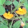 落花生とナス科野菜の混植
