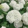 白い紫陽花♡