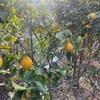 美味しい冷や奴。レモンの収穫。穏やかな一日。