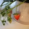 「マンションで遊ぶ!子どもと育てるイチゴ・収穫できるインテリア」