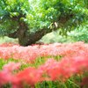 雨の中、吉賀町の彼岸花を撮る
