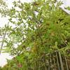 ジューンベリー収穫
