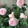 セプタードアイル  可愛すぎるという言葉はこのバラの為に!