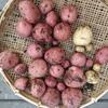 秋じゃがいもに「アンデスレッド」を育てて収穫しました!