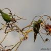 ベリーズ 花を食べる Olive-throated Parakeet (オリーブスローテッド パラキート)
