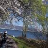 桜満開の諏訪湖を自転車で一周|お花見サイクリング