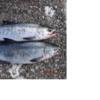 ランクC.こんな時どうするNO.79『鮭釣り開始が遅れると!!』/今日の紋別