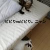 先住猫のミミちゃんと猫パンチ合戦。の巻
