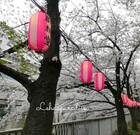【お花見】神田川と椿山荘の桜