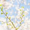 発見! 葉桜って綺麗
