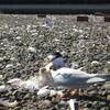 Little Tern Project 2020