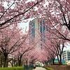 安行寒桜 (その3.07)