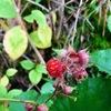 かわいい赤い実 冬苺
