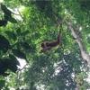 【スマトラ旅行】世界遺産オランウータンの森「ブキットラワン」