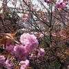 ベランダから八重桜を愛でる贅沢
