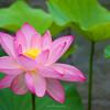 町田薬師池で蓮の花を撮影 #町田 #蓮 #eosm6