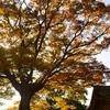 裏の権現山の御神木が良い色になってきました