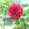 赤い薔薇をコンデジでもそこそこに撮る方法を考えてみた。