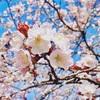 栗山公園の桜を見てきました