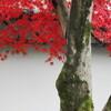 渡月橋と天龍寺の紅葉