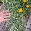 【100均日記】またも謎の実。ダイソーの種を植えたところから「いんげん」みたいなのが生えてきてる…