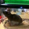 ネズミ捕まえた!