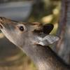 鹿は神の使い。奈良時代から1000年以上も人のそばにいるとか。芝刈りを主な仕事にしています。