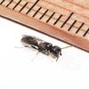 不明の狩りバチ