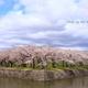 北海道の桜 ~ 函館 五稜郭公園の桜