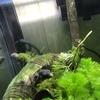 レットテールアカメフグの特徴|飼い方|混泳方法|淡水フグ