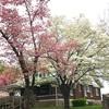 ハナミズキの花が最盛期。写真を撮る事が出来ずとっても残念です。