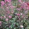 「まつこの庭」の秋の草花(2)