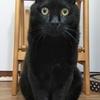 のんびり大柄の黒猫さん7/26(日)里親会(譲渡会)